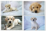 What do labrador puppies remind you of?